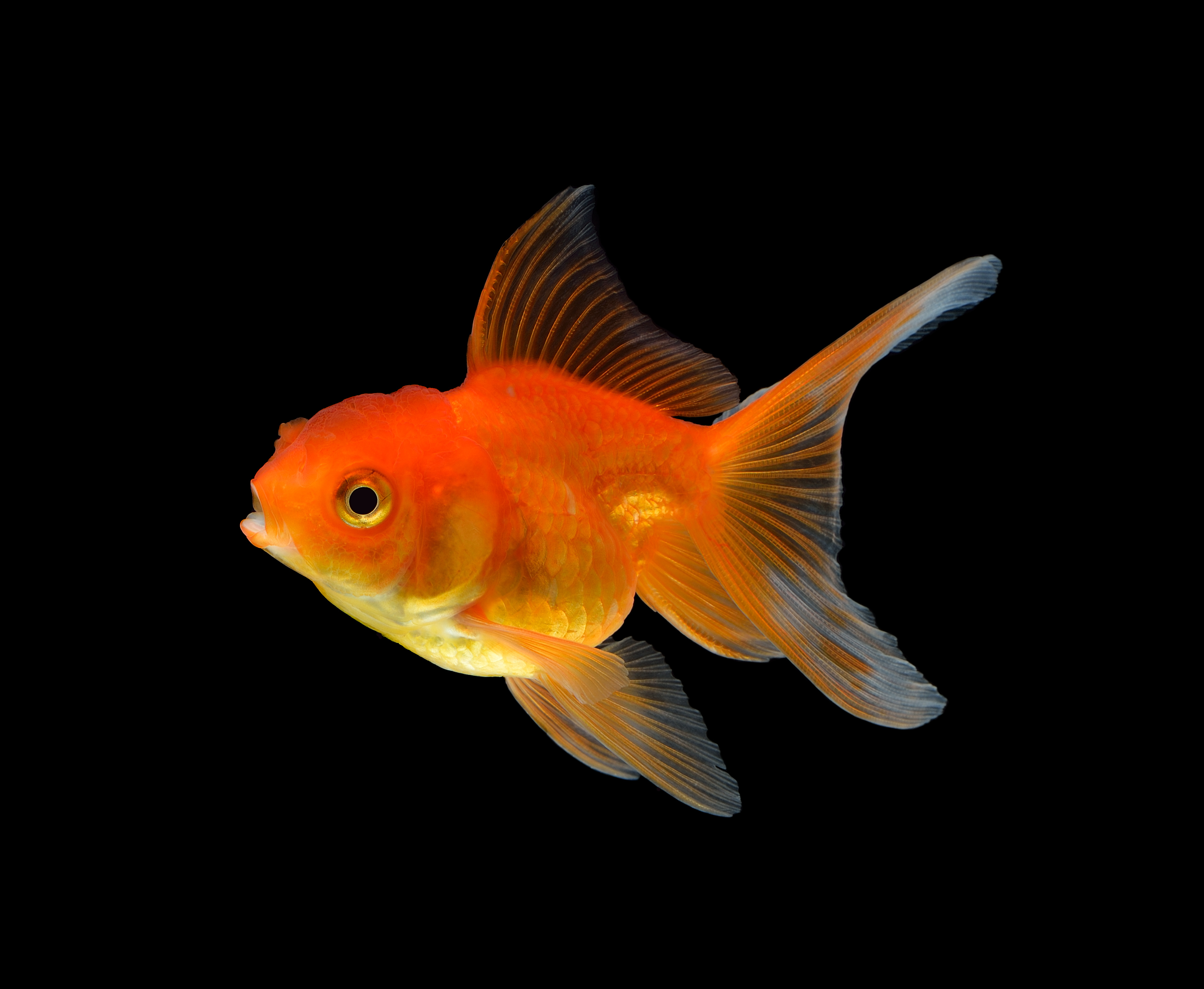 Tips for fancy goldfish hikari sales usa for Gold fish for sale
